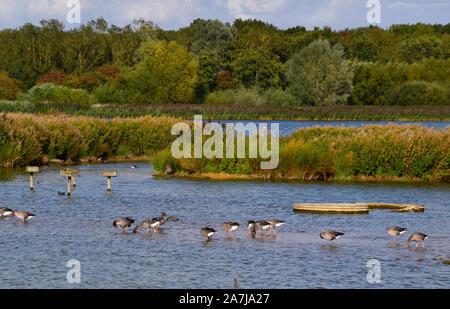 Gansos en un lago en la Reserva Natural de Rutland, Rutland, Inglaterra, Reino Unido