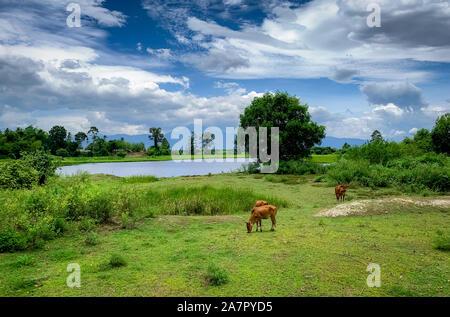 Rebaño de vacas pastando en praderas de césped verde. Brown cow en la pastura. La carne de vaca de cría de ganado. El ganado. Granja de Animales de campo cerca de río y montaña.