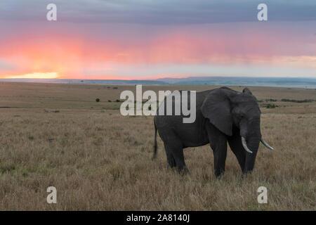 Bush africano elefantes alimentándose de hierbas al atardecer en Masai Mara, Kenya reserva