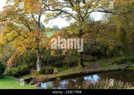 Las hojas de los árboles de roble en pleno otoño de color en un día soleado en un estanque de jardín en octubre sunshine Carmarthenshire Gales UK KATHY DEWITT
