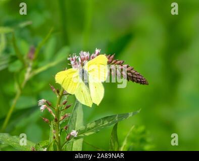 Brimstone Butterfly (Gonepteryx rhamni) en Black Berry flor. El valle del río Pshish, del canto caucásico Principal