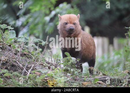 Casquillo hembra perro (Speothos venaticus)