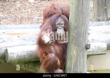 Bornean hembra orangután, crecen (Pongo pygmaeus)