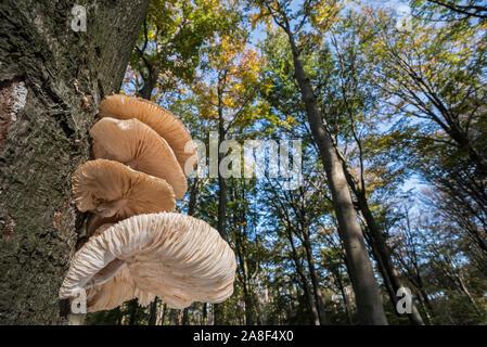 Clúster de porcelana (hongos Oudemansiella mucida / Collybia mucida) en el tronco del árbol en el bosque de otoño mostrando bajos