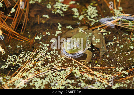 North American rana toro (Rana catesbeiana) sentada en un estanque de agua dulce superficial en medio de las algas con la cabeza sobresaliendo y cuerpo visible bajo el agua