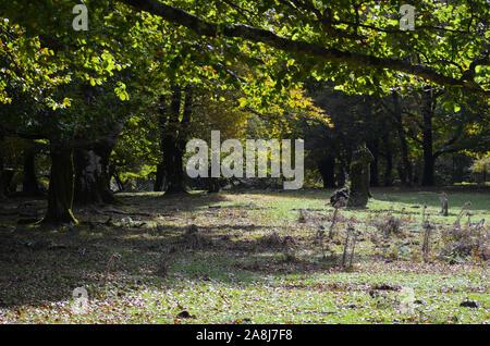Unión haya (Fagus sylvatica) los árboles en el parque natural de la Sierra de Urbasa-Andia, Navarra, en el norte de la Península Ibérica