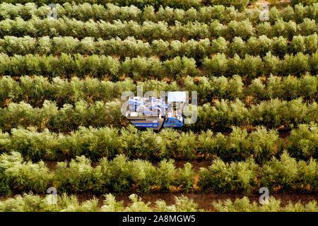 New Holland cosechadora de olivo está trabajando en un campo, imagen aérea.