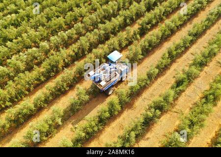 New Holland cosechadora de olivo en un campo de trabajo, vista aérea.