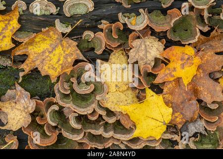 Azúcar hojas de arce (Acer saccharum) y Turquía cola Fungus (Trametes versicolor) suelo forestal, otoño, MN, EE.UU., por Dominique Braud/Dembinsky Foto Assoc