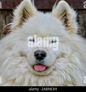 Perro samoyedo, hermoso perro blanco en el jardín