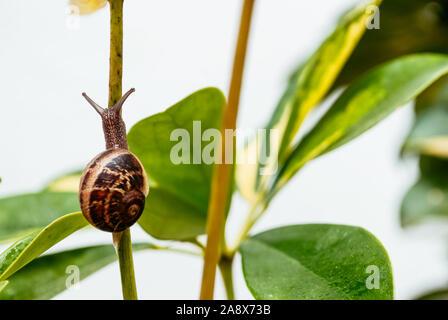 Jardín común caracol arrastrándose en tallo verde de planta