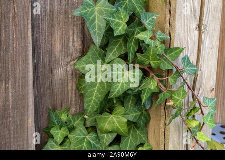 Hedera helix - Un muro de hiedra verde común Foto de stock