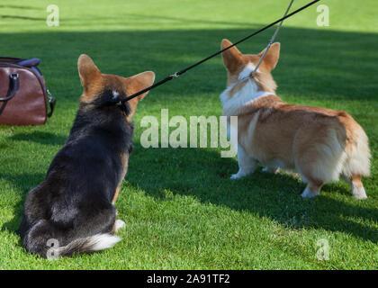 Dos Pembroke Welsh Corgi perros.