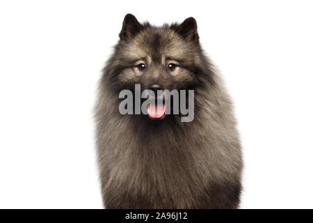Retrato de Keeshond peludo perro mirando en cámara aislada sobre fondo blanco.