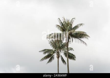 Quindio Ceroxylon quindiuense, palmas de cera, árbol nacional de Colombia y la más alta registrada en el mundo monocotiledóneas; sobre el cielo nublado.