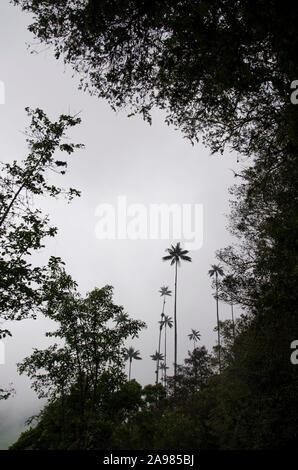 Palmas de cera Ceroxylon quindiuense, más cielo nublado, enmarcada entre otros tipos de vegetación, en el Valle de Cocora