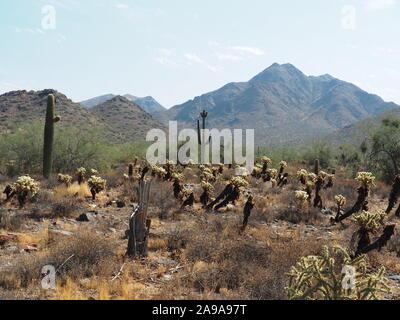 """El paisaje del Desierto Sonorense con Saguaro y Teddy Bear Cholla así como antiguas caído Saguaro """"esqueleto"""" en primer plano - montañas McDowell bacdrop"""