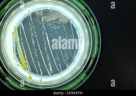 Las bacterias en la superficie de agar.