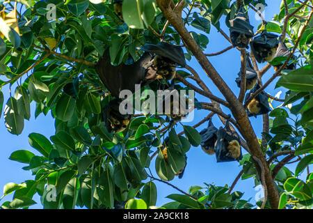 Australian zorros voladores cuelgue boca abajo en los árboles para dormir