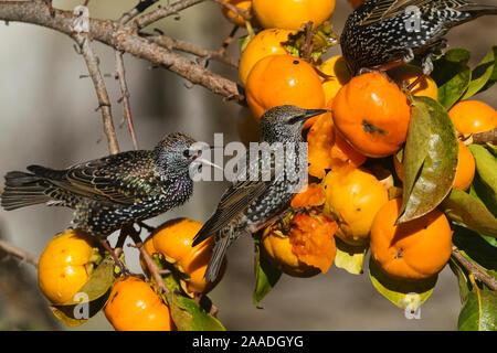 Starling (Sturnus vulgaris), comer fruta de japonés caqui (Diospyros kaki), Provenza, Francia