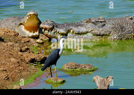 Reiher, Ardea Picata, und Leistenkrokodil, Salzwasserkrokodil, Crocodylus porosus, Kakadu NP, Nothern territorio, Australien