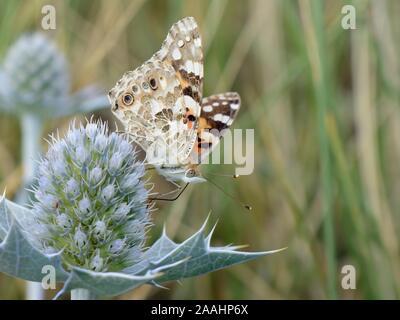 Painted Lady butterfly (Vanessa cardui) nectaring sobre mar flores de acebo (Eryngium maritimum) en dunas litorales, El Gower, Wales, REINO UNIDO, Agosto. Foto de stock