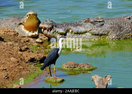 Elsterreiher, Reiher, Ardea Picata, und Leistenkrokodil, Salzwasserkrokodil, Crocodylus porosus, Kakadu NP, Nothern territorio, Australien