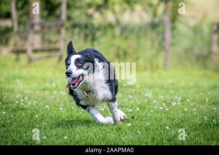 Border Collie corriendo por el campo , Bingley, Yorkshire, Reino Unido