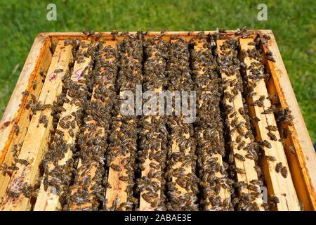 Las abejas de miel, Carniolan Santa Giustina, Belluno, Italia, Europa