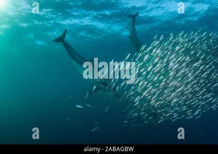Larga picuda delfines comunes (Delphinus capensis familia Delphinidae) alimentándose en la escuela del sur de África (Sardinops sagax Pilchards, Clupeidae