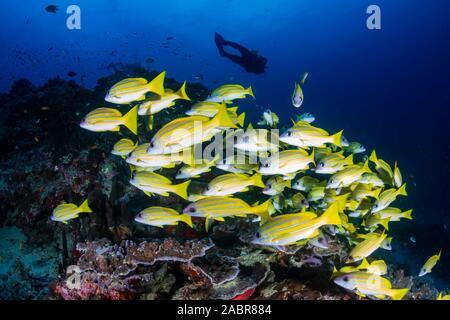 Los buceadores en un colorido arrecife de coral tropical en Tailandia