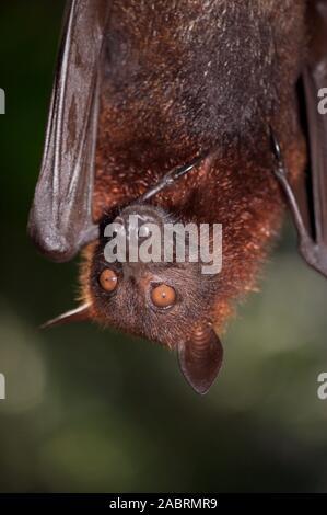 FRUTA MALAYA BAT o FOX PTEROPUS vampyrus VOLADOR. Detalle facial, ala plegada con pulgares independientes o primer dígito.