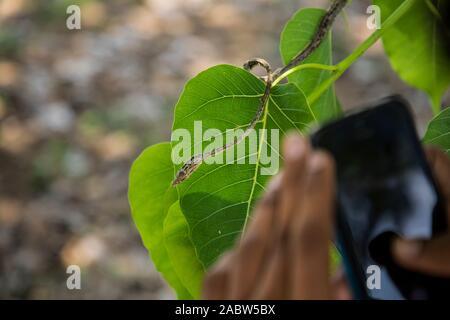 Un hombre usando un teléfono inteligente para tomar fotos de serpiente vid verde