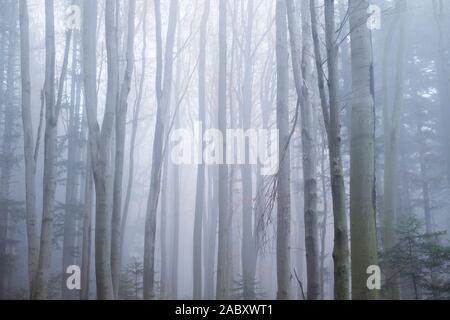 Oscuro misterioso bosque de hayas en la niebla. Mañana de otoño en el brumoso bosque. Mágica atmósfera neblinosa. Fotografía paisajística