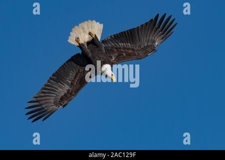 El águila calva volando en el cielo
