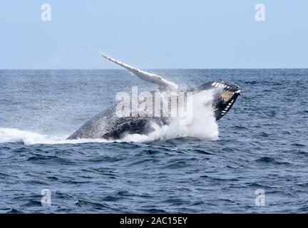 Una ballena Humpback golpea contra el agua en el camino hacia abajo con un big splash. (Megaptera novaeangliae)
