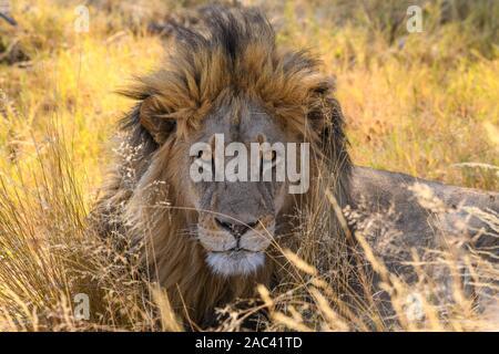 León macho, Panthera leo, en hierba larga, Macatoo, Okavango Delta, Botswana