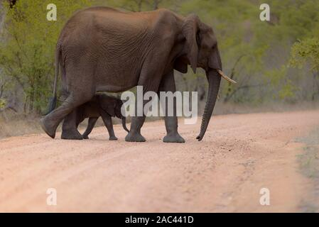 Retrato de Elefante Elefante africano