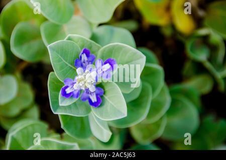La planta de los hawaianos nativos Pohinahina tiene forma de campana flores con pétalos de color azul violáceo.