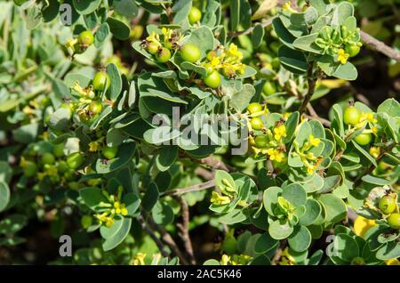"""Los nativos de Hawai """"akia planta es macho o hembra. Las plantas hembra, después de la floración, produce frutos redondos atractivos que son de color amarillo, naranja o"""