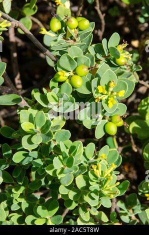 """Los nativos de Hawai """"akia planta es macho o hembra. Las plantas hembra, después de la floración, produce frutos redondos atractivos que son de color amarillo, naranja o r"""