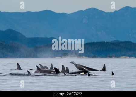 Familia mixta vainas de los residentes del norte de orcas (Orcinus orca) con las montañas costeras de la Columbia Británica en el fondo, cerca del Broughton