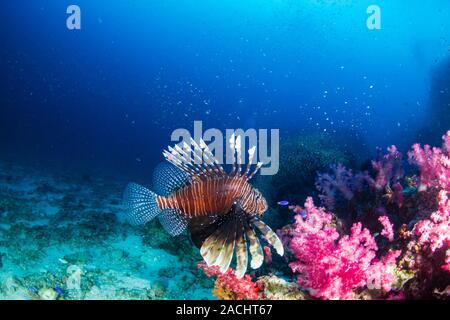 Pez león en un arrecife de coral tropical oscura en Tailandia