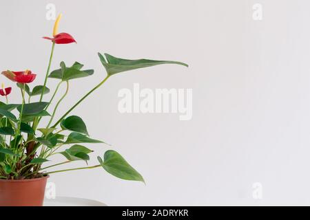 Closeup imagen de manguera verde planta en una maceta de flores rojas