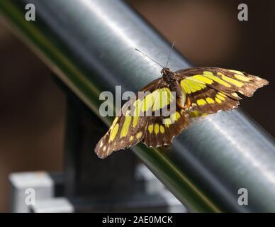 Mariposa de Malaquita Siproeta Stelenes Metal