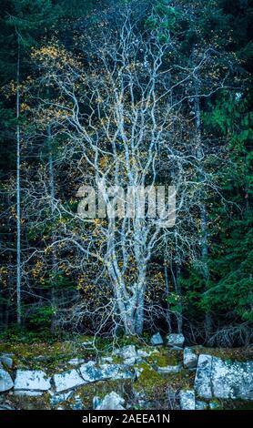 'Espíritu Tree': Arte ediciones limitadas están disponibles. Este era un árbol en Wallace isla en las islas del Golfo de British Columbia, Canadá. Nos c Foto de stock