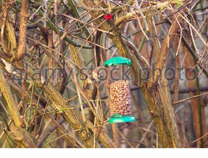 Un joven gorrión (Passer domesticus) se alimenta de un pájaro lleno de tuercas en un jardín interno. Foto de stock