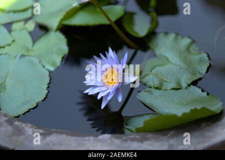 Lirio de agua con pétalos de color azul y un núcleo de color amarillo en la superficie del agua