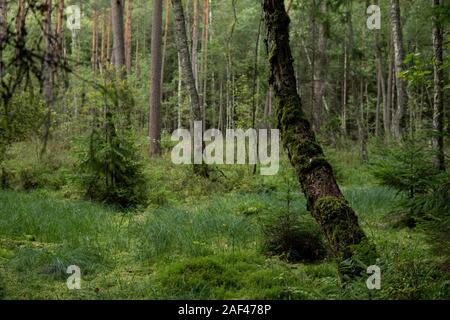 Paisaje de un bosque ripario de humedales en la región de Masuria en Polonia