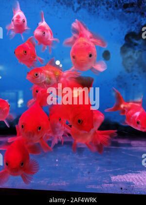 Oro peces que nadan en el acuario de agua dulce